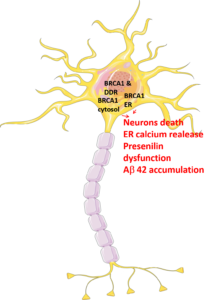BRCA1 in AD neurons - hypothesis